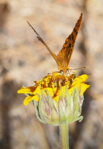 The rare Sierra Cross-Eyed Fritillary on Wyethia, Remelli Ranch.