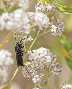 Wasp on yarrow near pond by Red Rock Canyon.