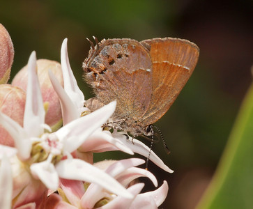 Hairstreak (Lycaenidae)  on milkweed near Yuba Pass