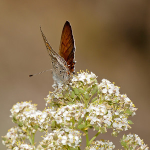 Hairstreak (Lycaenidae) on yarrow, Red Rock Canyon.