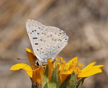 Lycaenid on Wyethia, Remelli Ranch