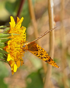 Fritillary on Wyethia, Remelli Ranch.