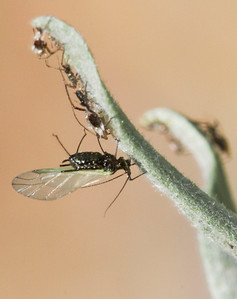 Winged aphid, Remelli Ranch.