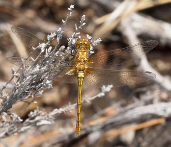 Dragonfly, Remelli Ranch