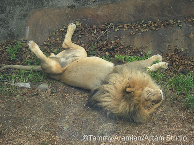 male lion afternoon nap