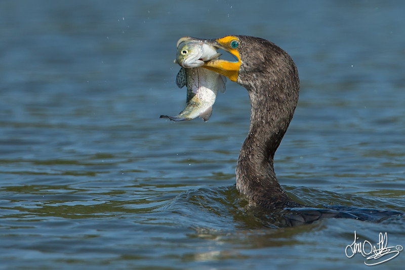 Double-crested Cormorant with a trout