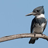 Belted Kingfisher (male) Bolsa Chica Wetlands • Huntington Beach, CA