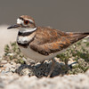 Killdeer with her eggs