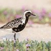 Black-bellied Plover walking through Sand Verbena