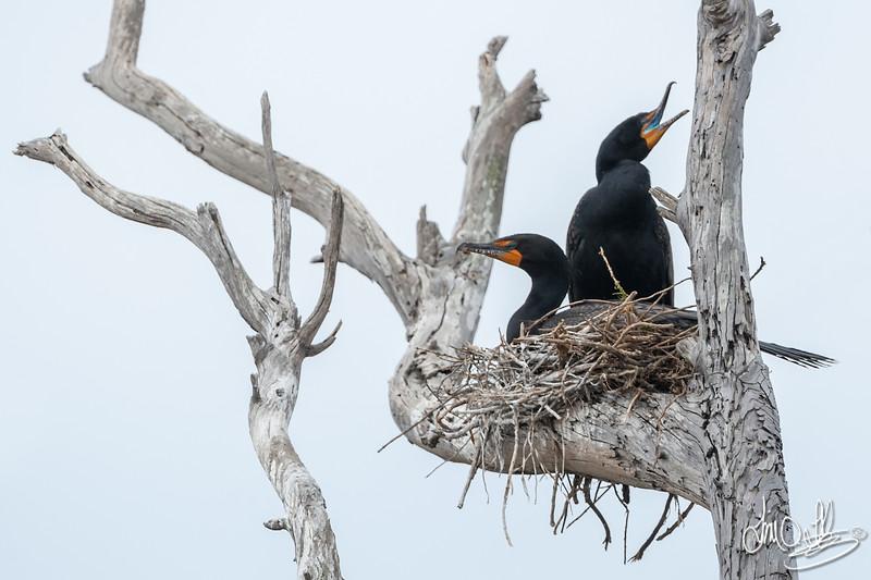 Nesting Double-crested Cormorants