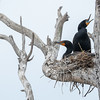 Nesting Double-crested Cormorants