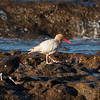 Leucistic Oystercatcher and a Black Oystercatcher