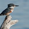 Belted Kingfisher (female) Bolsa Chica Wetlands • Huntington Beach, CA