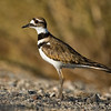 Killdeer San Joaquin Wildlife Sanctuary • Irvine, CA