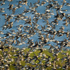 A Flock of Sandpipers In-Flight