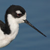 Black-necked Stilt Portrait