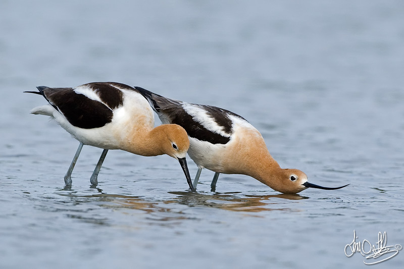 American Avocets mating ritual