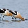 American Avocets mating ritual