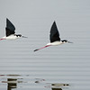 Black-necked Stilts In-Flight