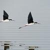 Black-necked Stilts In-Flight