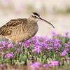 Whimbrel walking through Sand Verbena
