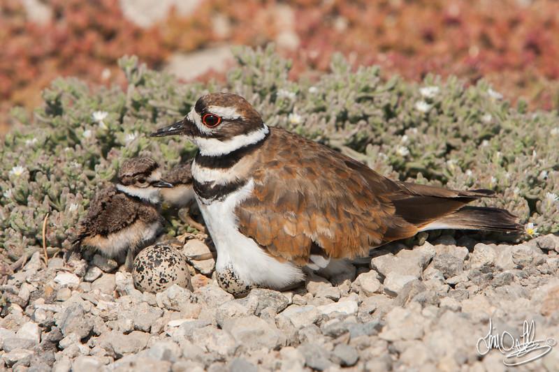 Killdeer with 2 chicks and 2 eggs