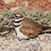 Killdeer with 2 chicks and 2 eggs