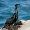 Brandt's Cormorant with nesting material