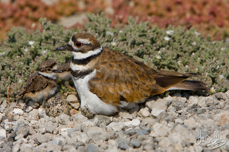 Killdeer with chicks and eggs