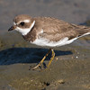 Semipalmated Plover Bolsa Chica Wetlands • Huntington Beach, CA