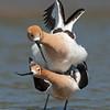 American Avocets Mating