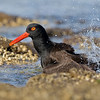 Black Oystercatcher bathing