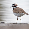 Killdeer on a cloudy morning