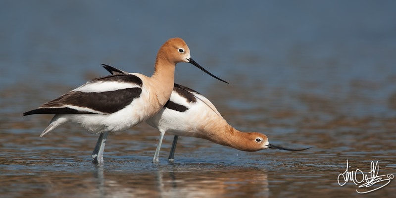 American Avocet submission display