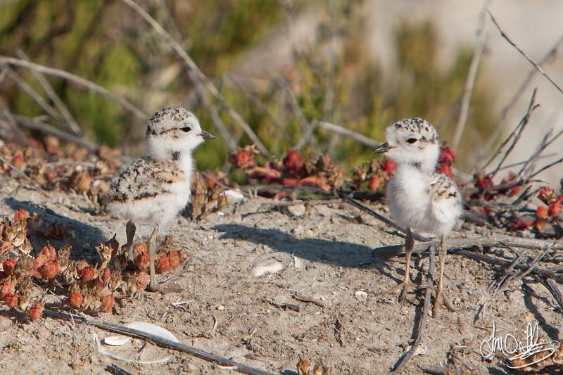 Snowy Plover Chicks