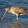 Long-billed Curlew Eating a Razor Clam