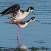 Black-necked Stilts Mating