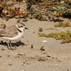 Snowy Plover Bolsa Chica Wetlands • Huntington Beach, CA