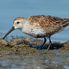 Dunlin Bolsa Chica Wetlands • Huntington Beach, CA