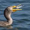 Double-crested Cormorant with its catch Bolsa Chica Wetlands • Huntington Beach, CA