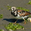 Ruddy Turnstone Bolsa Chica Wetlands • Huntington Beach, CA