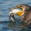 Double-crested Cormorant eating a trout