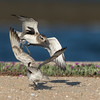 Black-bellied Plover fight
