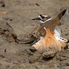 "Killdeer ""broken wing display"""