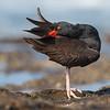 Black Oystercatcher preening