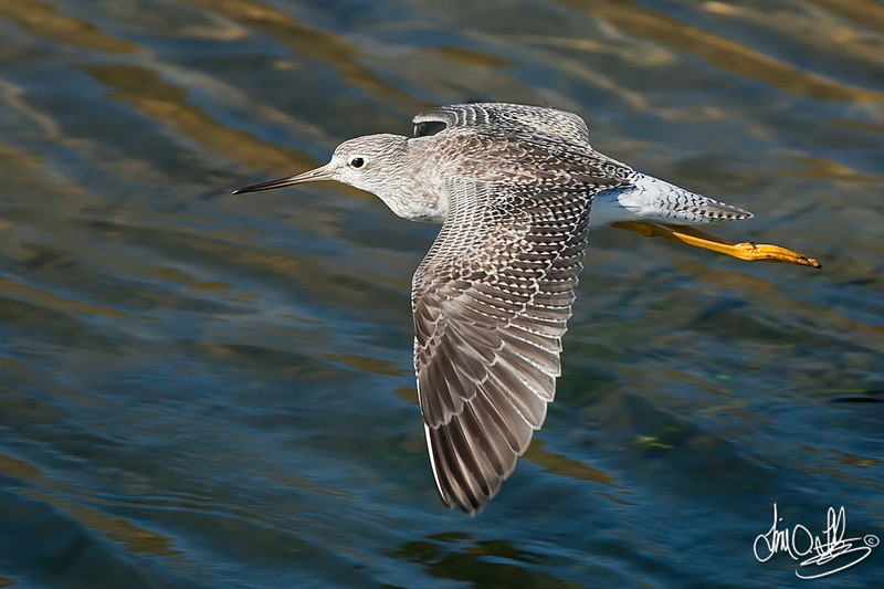 Lesser Yellowlegs In-Flight