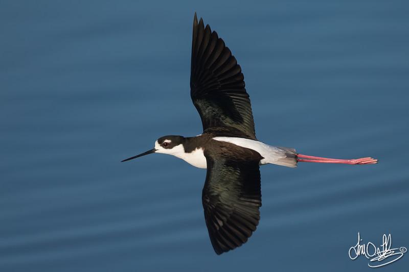 Black-necked Stilt in-flight