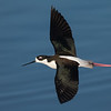 Black-necked Stilt in-flight