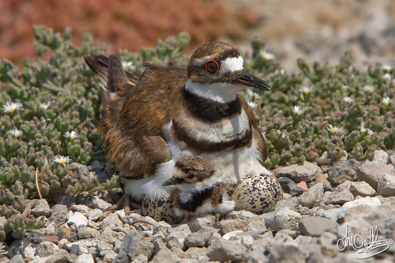 Killdeer with chick and eggs