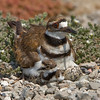 Killdeer with chick and eggs